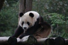 Figlarnie pandy lisiątko w Dujiangyan pandy bazie, Chiny Obrazy Stock