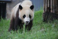 Figlarnie pandy lisiątko w Dujiangyan pandy bazie, Chiny Fotografia Stock