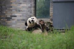 Figlarnie pandy lisiątko w Dujiangyan pandy bazie, Chiny Obrazy Royalty Free