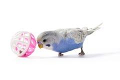 Figlarnie Parakeet zdjęcia stock
