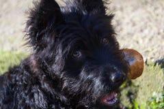 Figlarnie pies, Pulin Zdjęcia Royalty Free