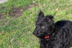 Figlarnie pies, Pulin Fotografia Royalty Free