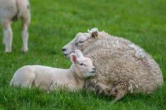 Figli con le pecore della madre che risiedono nell'erba Fotografia Stock