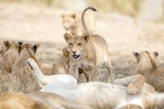 Figli il gioco nell'orgoglio grande del leone alla savana Immagini Stock Libere da Diritti