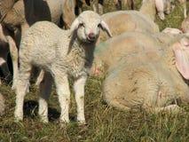 Figli nel mezzo di grande moltitudine di pecore e di capre Fotografie Stock Libere da Diritti