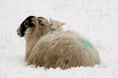 Figli scaldandosi sulla madre nella neve Fotografie Stock