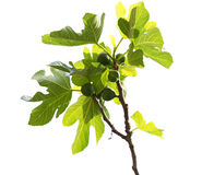 Figo comum. Ficus Carica. Foto de Stock Royalty Free