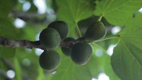 Figo comum Ficus Carica Figos orgânicos maduros e verdes em uma árvore de figo O vento funde através das folhas Foco seletivo sob video estoque