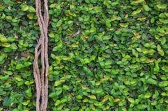 Figo da parede do rastejamento Imagens de Stock