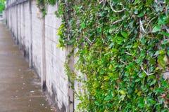 Figo de escalada na parede de tijolo Fotografia de Stock Royalty Free