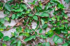 Figo de escalada na parede de tijolo Foto de Stock Royalty Free