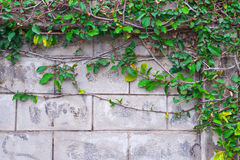 Figo de escalada na parede de tijolo Fotografia de Stock