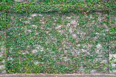 Figo de escalada na parede de tijolo Fotos de Stock Royalty Free