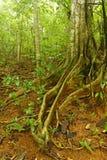 Figo de Strangler, Costa Rica Fotografia de Stock