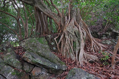 Figo de Strangler, Maui, Havaí Foto de Stock