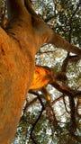 Figo dourado Imagem de Stock Royalty Free