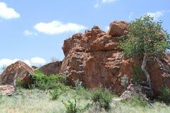 figo Grande-com folhas da rocha, abutilifolia do ficus Fotos de Stock Royalty Free