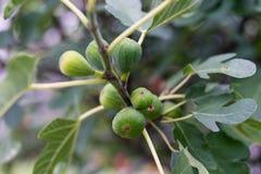 Figo maduro que pendura do fim da opinião lateral da árvore da planta acima Fotografia de Stock