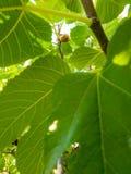 Figo na árvore Fotos de Stock Royalty Free
