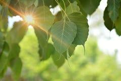 Figo sagrado, árvore do photi, folha de Bodhi, luz solar Fotografia de Stock Royalty Free
