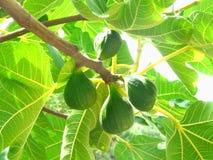 Figos, crescendo em um ramo de árvore Foto de Stock