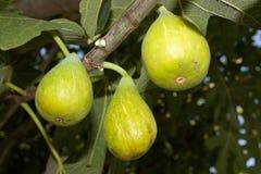 Figos maduros Imagem de Stock Royalty Free