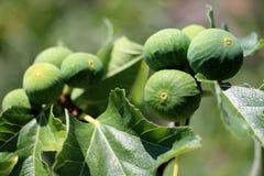 Figos na árvore fotografia de stock