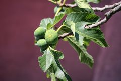 Figos na árvore imagem de stock royalty free
