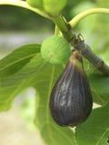 Figos na árvore Imagens de Stock Royalty Free
