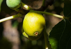 Figos nas fases dos primeiros do amadurecimento, Espanha Foto de Stock