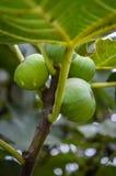 Figos orgânicos verdes Fotografia de Stock Royalty Free