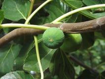 Figos verdes que amadurecem em uma árvore de figo com folhas verdes Toscânia, Italy Imagens de Stock