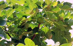 Figs on a background of green leaves Stock Images