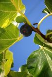 Figs and bee Royalty Free Stock Photography