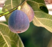 Figs on the branch Royalty Free Stock Photo