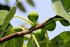 Figs on the branch Royalty Free Stock Photos