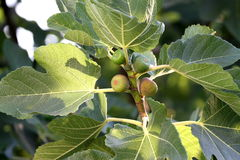 Figs on branch Royalty Free Stock Photo