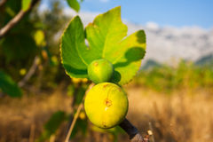 Figs on the branch. Branch of fig-tree in valley at sunset Stock Images
