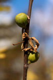 Figs on a branch Stock Image
