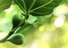 Figs on the branch Stock Photography