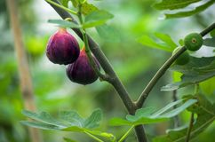 Figs on the branch of a fig tree Royalty Free Stock Images