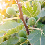 Figs on the branch of a fig tree Royalty Free Stock Image