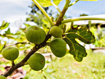 Figs on the branch of a fig tree Stock Image