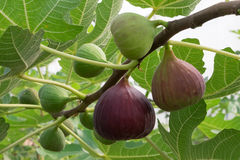 Figs on the branch Royalty Free Stock Image