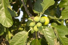 Figs. Branch with fruits of fig tree, on the hills of Campania, Italy Royalty Free Stock Photography