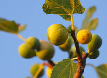 Figs on the branch Royalty Free Stock Photography