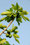 Figs on a branch Stock Photos