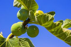 Fig fruits on a tree Stock Image
