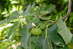 The figs Stock Images