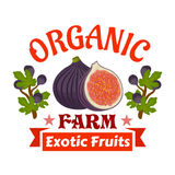 Figs. Farm organic exotic fruits emblem. Vector icon of whole and half cut fig fruit with fig tree branches. Label for vegetarian product sticker, grocery farm Royalty Free Stock Images